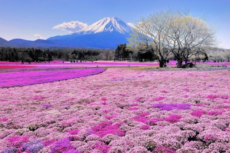 Fuji Shibazakura1.jpg