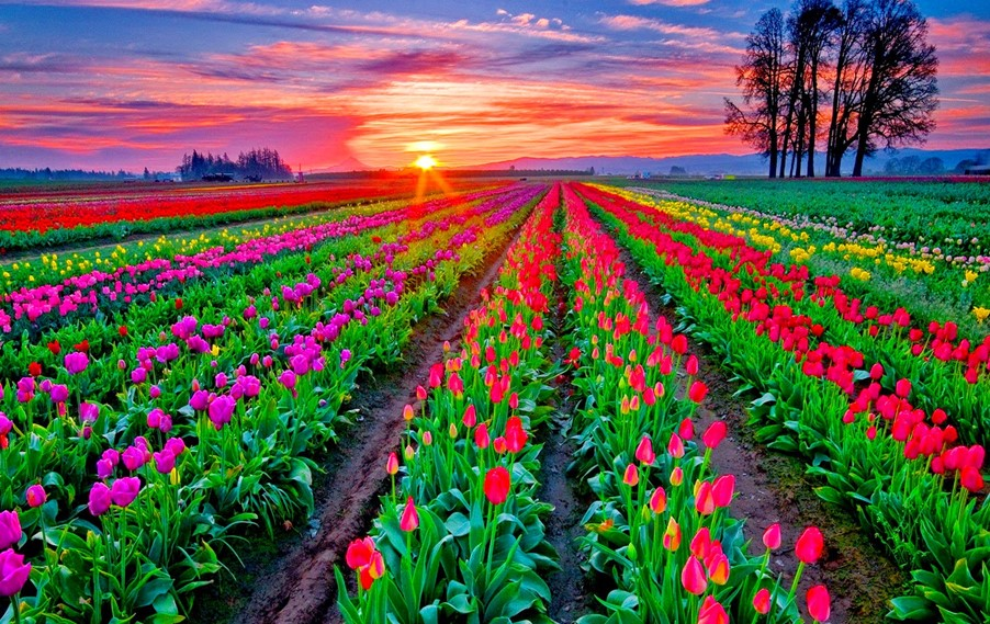 skagit tulipanes 3